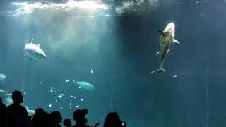 水族館のマグロが死亡!?餌付けショーの最中にガラスにぶつかった!