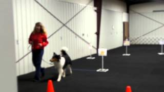 Rough Collie Akc Novice Rally Obedience