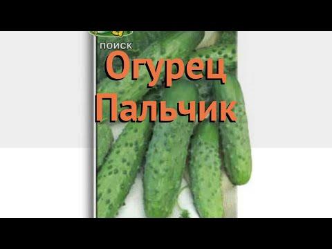 Огурец обыкновенный Пальчик (palchik) 🌿 огурец Пальчик обзор: как сажать семена огурца Пальчик