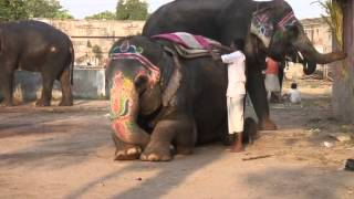 Mahouts the elephant people
