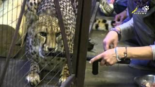 Дрессировка кошки: приучение гепарда к уколам и взятию крови