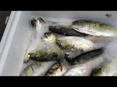 Fresh Pogeys, Pogies, Menhaden, Bunker Best Spring Striped ...
