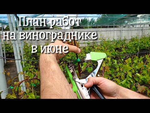 План работ на винограднике в июне. Удобрение, обработка, подвязывание, нормировка, уход за кустами