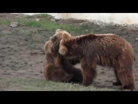 Les ours du parc animaliers de brabtia a El-Kala