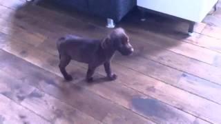 Puppie Kruising Weimaraner X Labrador