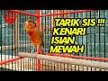 Kenari Af Gacor Isian Mewah Sangat Cocok Buat Masteran Burung Kesayangan Anda  Mp3 - Mp4 Download