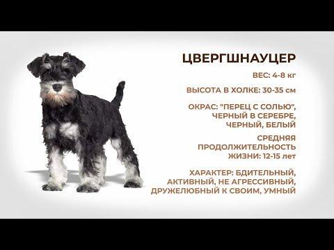 Собаки и люди: порода цвергшнауцер