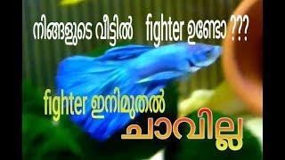 Fighter fish ഇനി ചാവില്ല!!!!