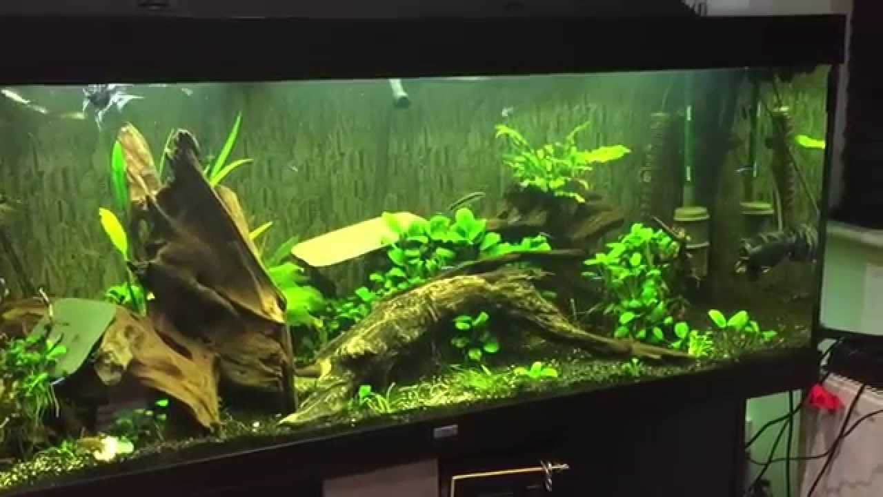 shrimp pleco juwel rio 400 aquarium youtube. Black Bedroom Furniture Sets. Home Design Ideas