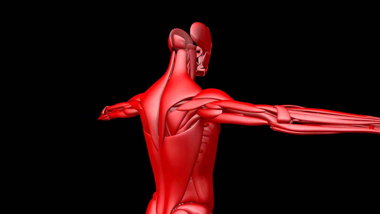 Royalty Free Medical Human Muscular System Hd Footage Chest