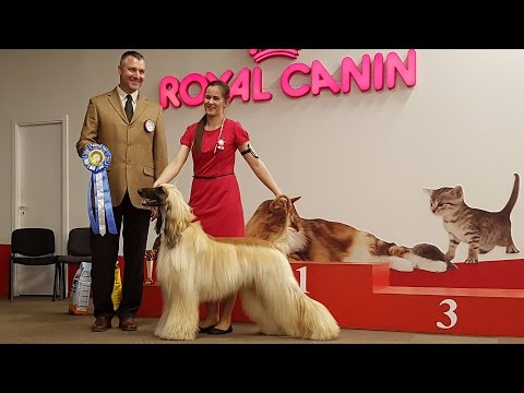 АФГАНСКАЯ БОРЗАЯ. Выставка собак. Апрель 2016 | AFGHAN HOUND. Sighthound dog show. April 2016