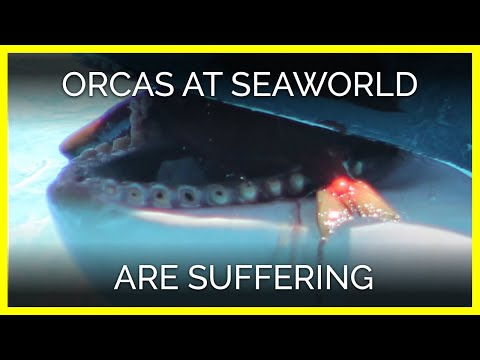 Orcas at SeaWorld Are Suffering Both Mentally and Physically