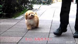 トイプードル専門店、ドギーズ神戸です。 マックスくんがお散歩デビュー...