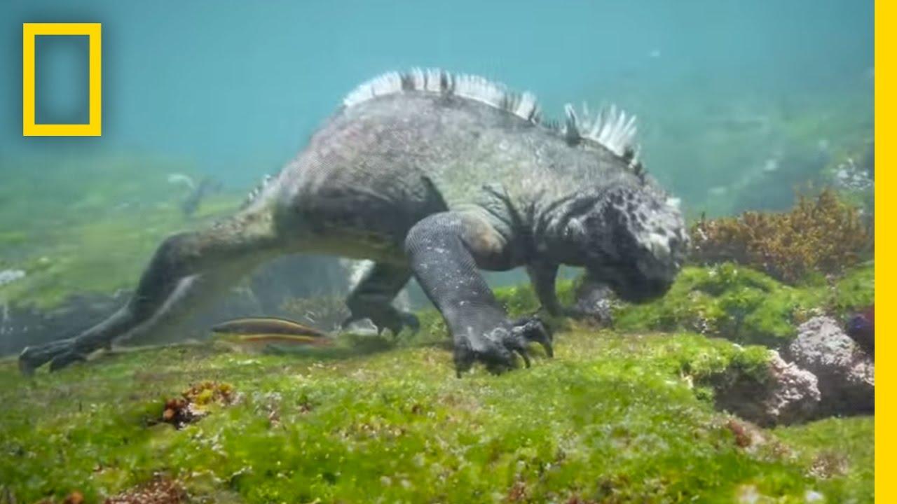 Swim Alongside a Galápagos Marine Iguana | National ...