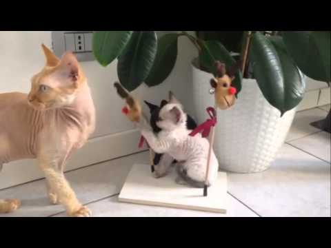 Merry Christmas from Devon Rex kittens! | Allevamento cuccioli di gatto Devon Rex Milano