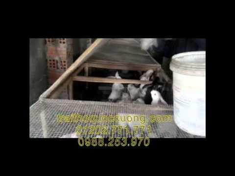 Kỹ thuật chăn nuôi thỏ công nghiệp