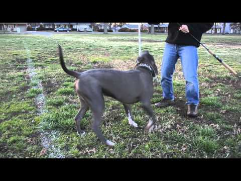 Pit Bull Puppy Playing with Flirt Pole