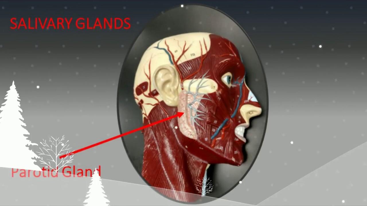 Digestive System Anatomy Practical Exam Practice Youtube
