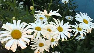 Part1 Honey Bee Bees Polinating Daisy Flowers Daisies Daisys Flower Plant GardenersLand Jazevox