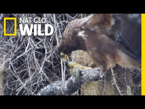 Shocking Video Shows Hawk Beheading Its Prey | Nat Geo Wild