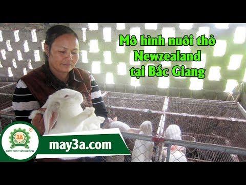 Nuôi thỏ Newzealand - Nuôi thỏ làm giàu tại Bắc Giang
