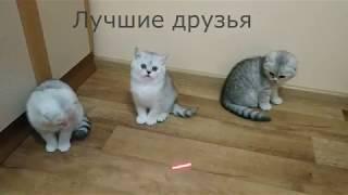 Милые котики и смешные котята скоттиш фолд и страйт 😻 Котята играют 🐱 Scottish Fold Kittens Cats