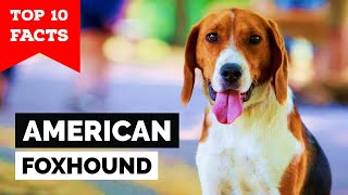 American Foxhound  Top 10 Facts