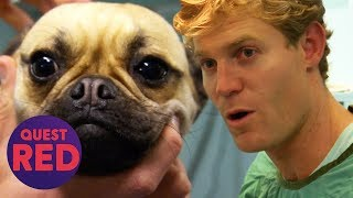 Can Dr. Chris Brown Save This Pregnant Pug's Litter? | Bondi Vet
