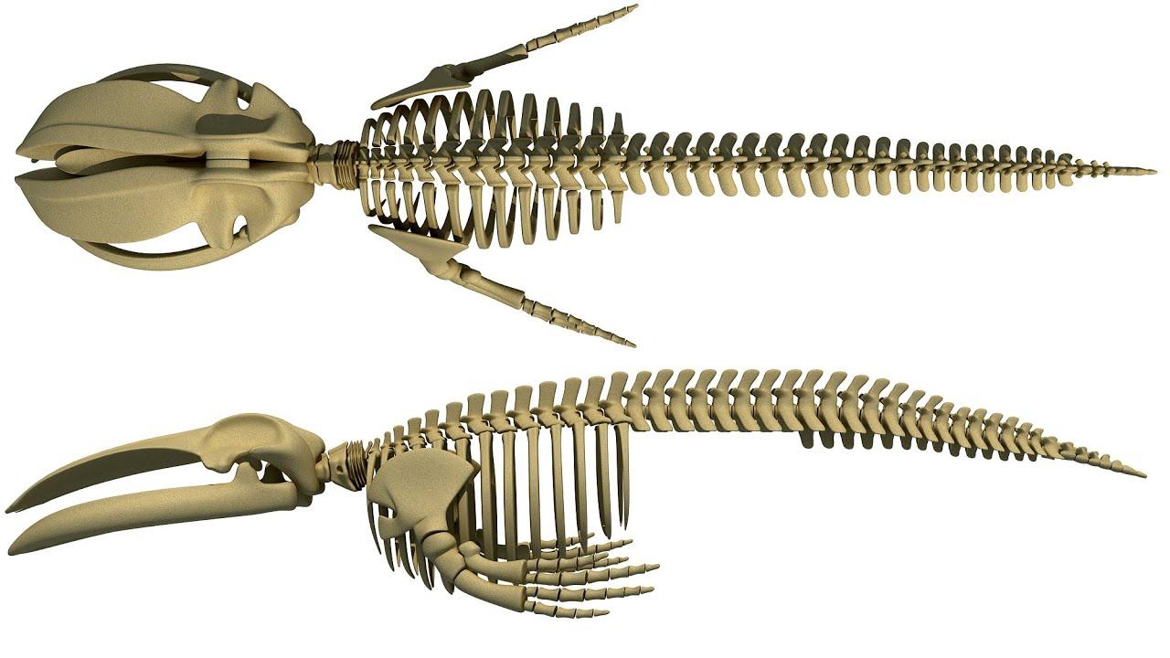Blue Whale Skeleton 3D Model - YouTube