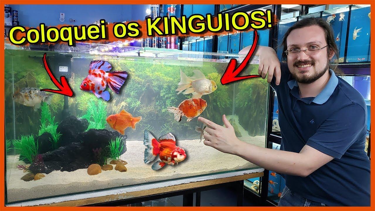 Coloquei Kinguios Enormes e LINDOS no Aquário de 200 Litros! - Aquarismo Entre Amigos