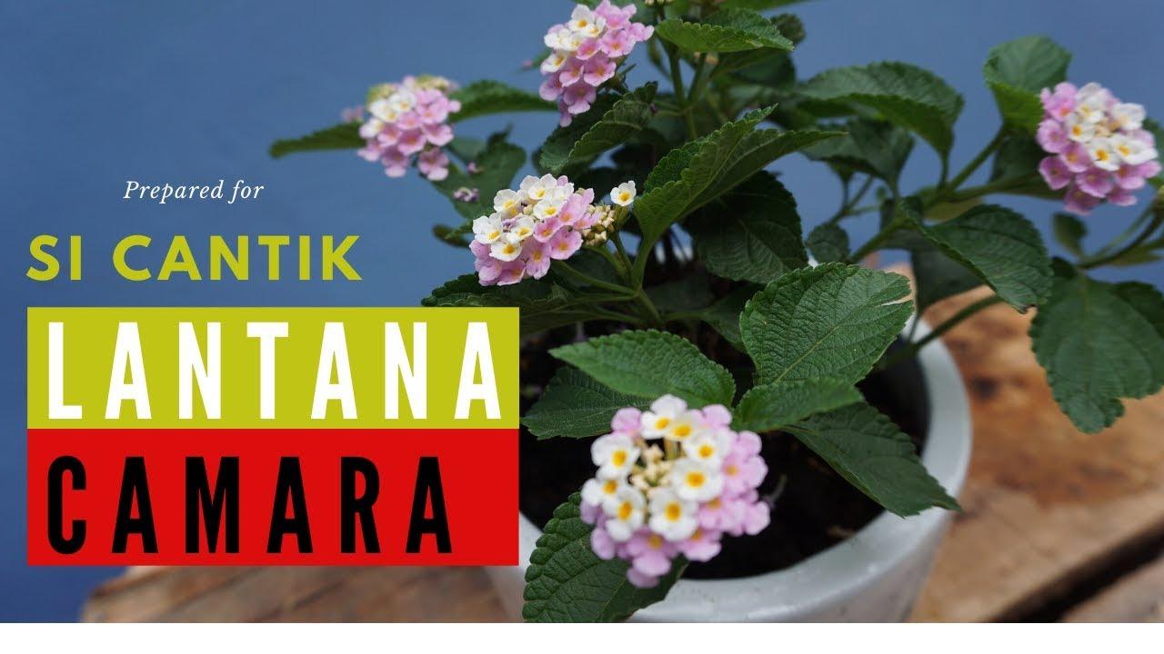 Mengenal Tanaman Bunga Lantana Camara Yang Sangat Disukai Kupu Kupu Youtube
