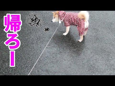 柴犬小春 雨の日は犬だって早く済ませたい