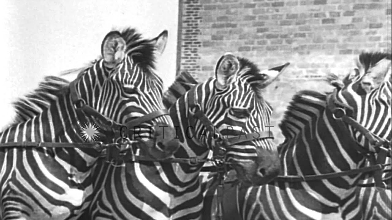 Zebras And Horses Performing Stunts For Opening Of Circus