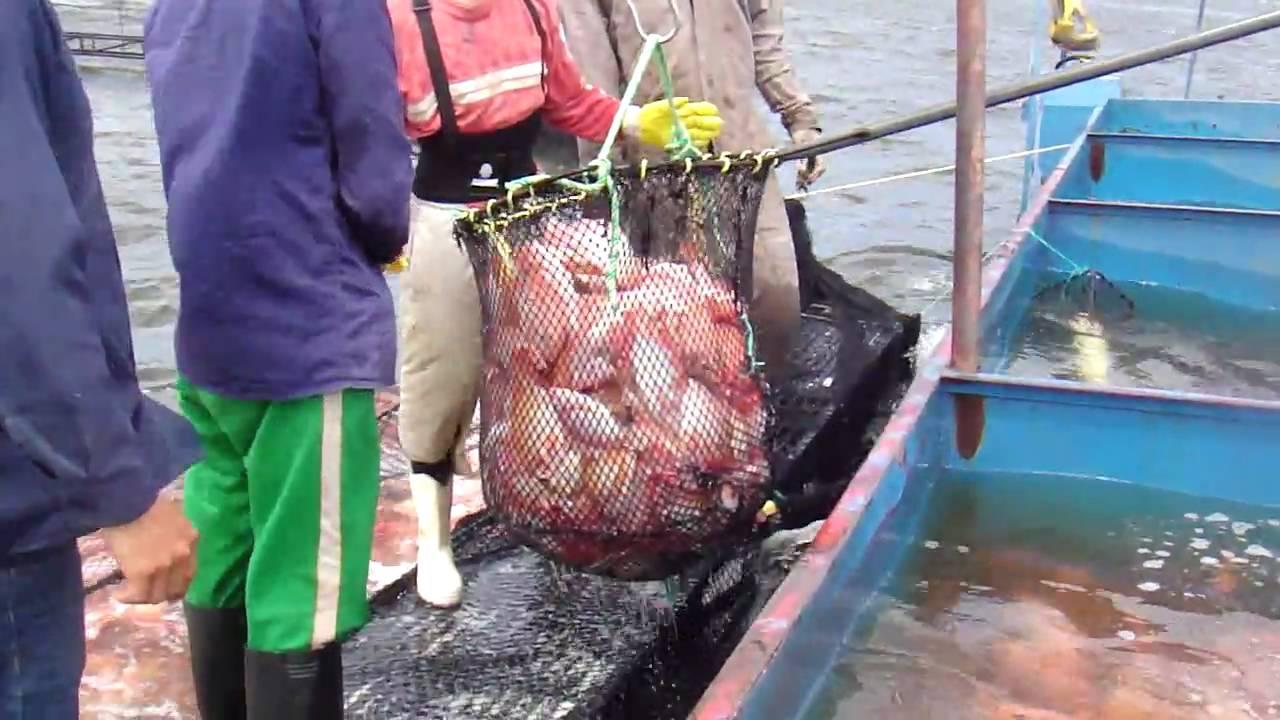 Piscicola el vergel ltda jaulones de engorde de tilap for Piscicultura tilapia roja