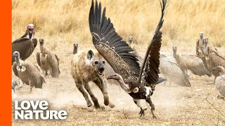 Young Hyena Fights A Hundred Vultures For Food