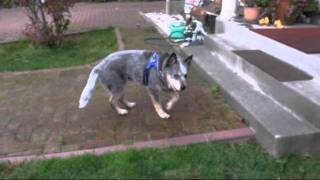 17 and 2 month old Australian Cattledog runs in my yard. 2011年8月...