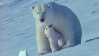 Birth on the snow   Polar Bear Battlefield   BBC