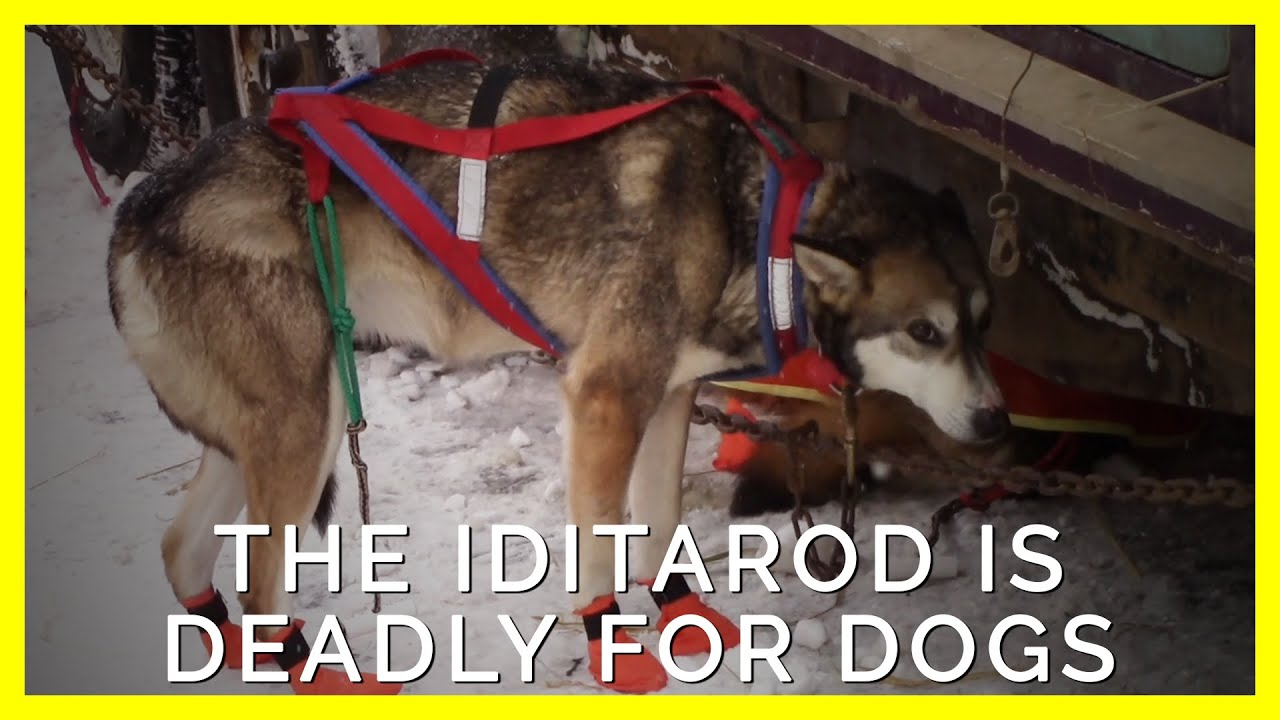 This Is How Dogs Used in the Iditarod Are Forced to Live