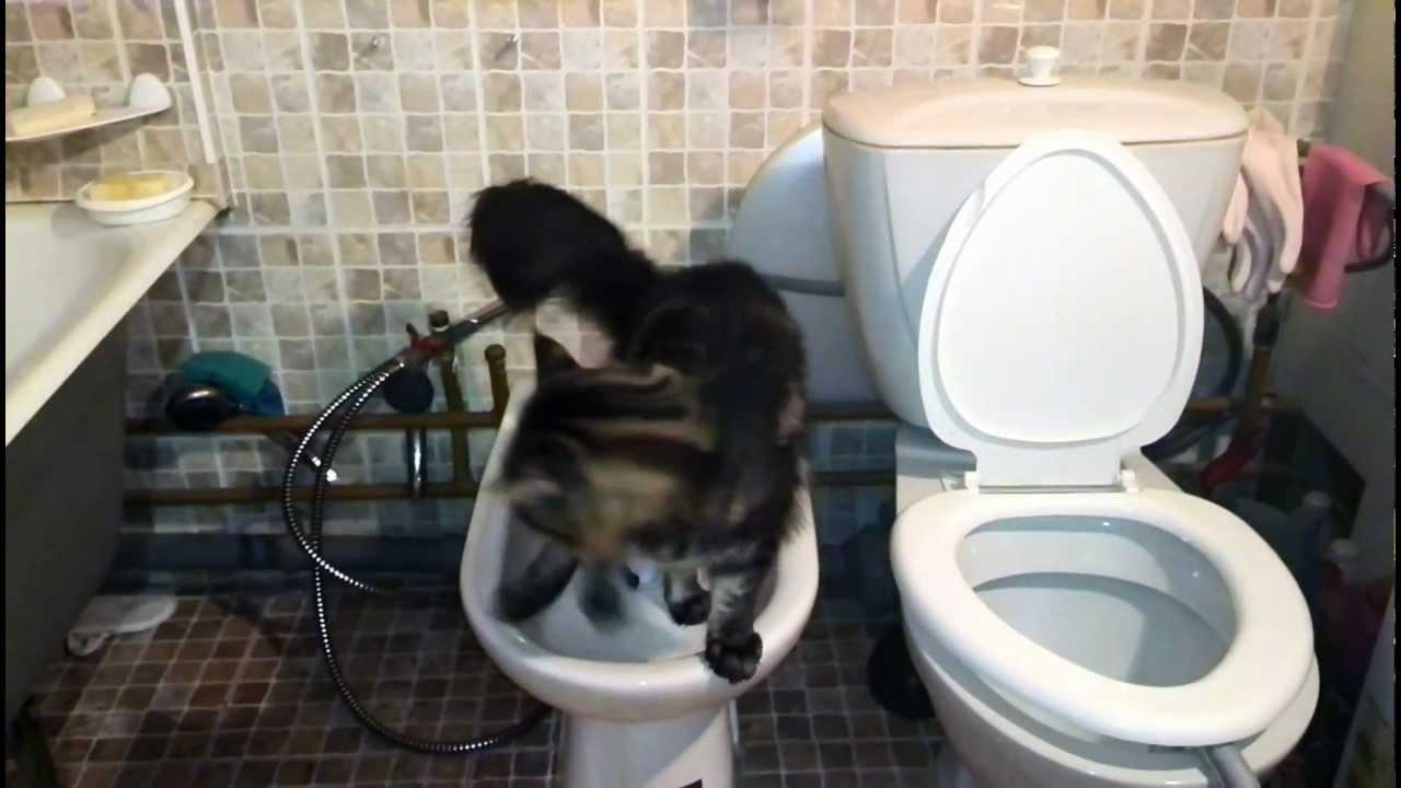 Мейн кун коты туалет