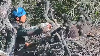 Fraser Point Eaglet's Fall & Rescue