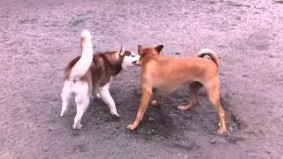 Husky Wrestles Shar Pei At Daycare!