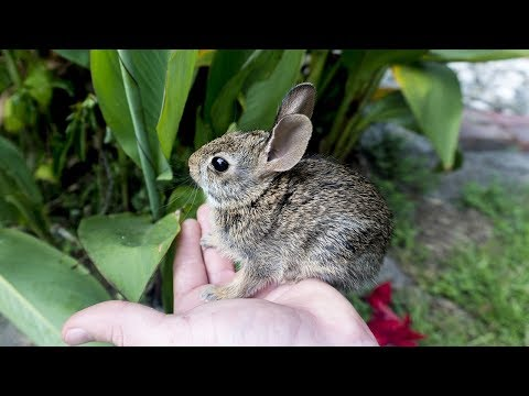 Caring For A Baby Cottontail Rabbit (Thumper)