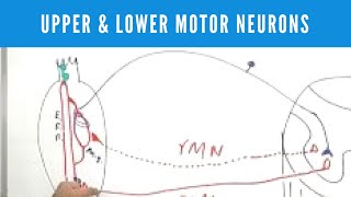Upper and Lower Motor Neurons & Lesions