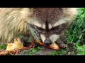Raccoon Vs Rock Crab | Blue Planet | BBC Earth