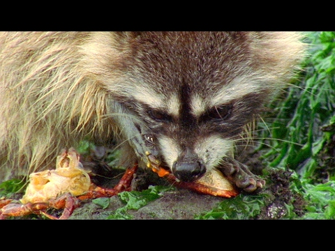 Raccoon Vs Rock Crab | Blue Planet | BBC Earth