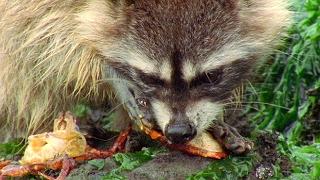 Raccoon Vs Rock Crab   Blue Planet   BBC Earth thumbnail