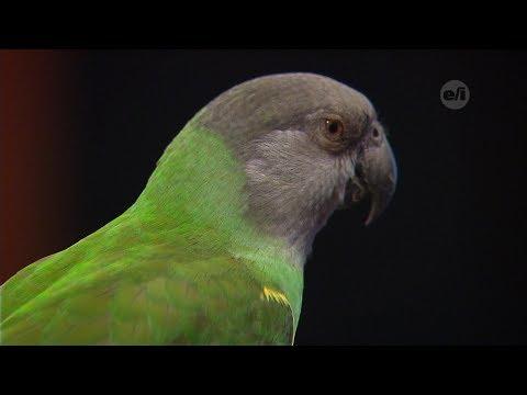 Homework Hotline: Senegal Parrot