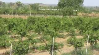 Amazing Medicinal Plant Dalimb or Anar or Punica granatum,Pomegranate   Crop in Field