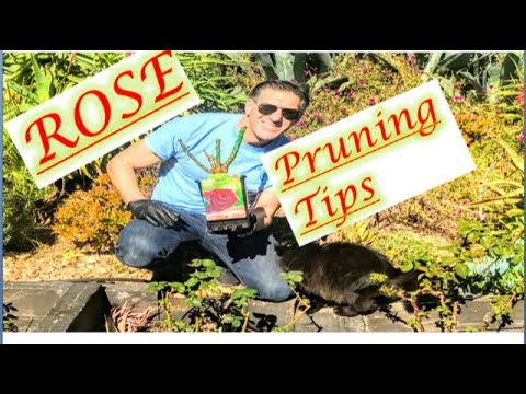 ROSE PRUNING LESSON: When, Where, How, Why & Sealing Exposed Surfaces