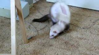 Diamond the three legged ferret